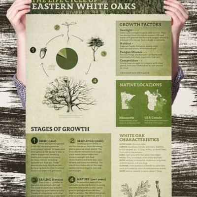 Oak Tree Life Cycle Poster
